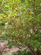 Minas fruit 2